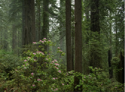 redwoods REMIF